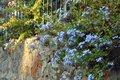 Plumbago Auriculata , commonly known as Plumbago Capensis. Tropical evergreen, flowering shrub Royalty Free Stock Photo