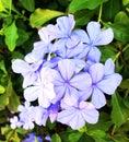 Plumbago auriculata flower blue plant Royalty Free Stock Photo