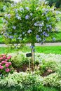 Plumbago auriculata flower Royalty Free Stock Photo