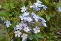Plumbago Auriculata Flowers In...