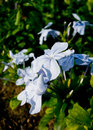 Plumbago auriculata lam or cape leadwort or leadwort close up shot of Stock Photos