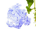 Plumbago auriculata lam flower leadworth on white background Royalty Free Stock Photography
