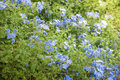 Plumbago auriculata, is a species of flowering plant Royalty Free Stock Photo
