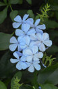 Plumbago flowers Stock Photo