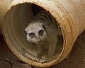 Plumbing problem a meerkat peering out from a pipe text space rhs Royalty Free Stock Images