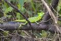 Jesus Christ lizard - Basiliscus plumifrons - Costa Rica Royalty Free Stock Photo