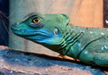 Plumed Basilisk Lizard Portrait Royalty Free Stock Photography