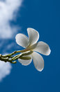 Plumelia flower with blue sky background Royalty Free Stock Images