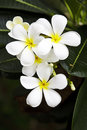 Plumeria alba flowers Stock Photography
