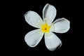 Plumeria on black background single Stock Photo