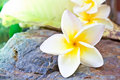 Plumeria flower Stock Photos
