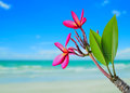 Plumeria flower on beach background red and Royalty Free Stock Photography