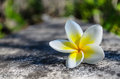 Plumeria flower on cement road Royalty Free Stock Photo