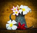 Plumeria flower decoration in house still life Royalty Free Stock Image