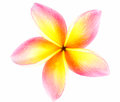 Plumeria flower isolated on white background Stock Photo