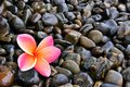 Plumeria Flower on Pebble Royalty Free Stock Image