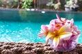 Plumeria flower pink and white frangipani tropical flower, plumeria flower bloominge, spa flower, Bali island. Royalty Free Stock Photo