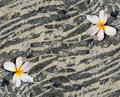Plumeria flower on sandy lava rock Stock Image