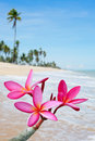 Plumeria flowers on the beach Stock Photography