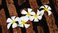 Plumeria flowers on the brick floor Royalty Free Stock Photo
