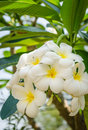 Plumeria flowers on the tree white and yellow Royalty Free Stock Images