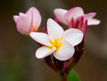 Plumeria frangipani flowers close up Royalty Free Stock Images