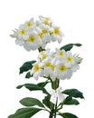 Plumeria Frangipani Flowers Is...