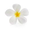 Plumeria and frangipani flowers isolated  white background Royalty Free Stock Photo