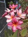 Plumeria frangipani flowers on closeups Royalty Free Stock Photo