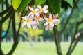 Plumeria, frangipani flowers on tree in park Royalty Free Stock Photo