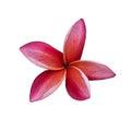 Plumeria. Frangipani tropical SPA flower Royalty Free Stock Photo