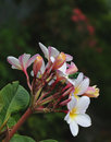 Plumeria and friend bloom with a little Royalty Free Stock Photo