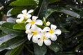 Plumeria garden Royalty Free Stock Photo