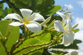 Plumeria at the garden in the morning Royalty Free Stock Images