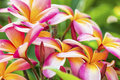 Plumeria group of vibrant pink yellow and white blooms Stock Photo
