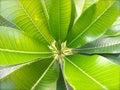 Plumeria leaf close up of Stock Photo