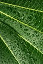 Plumeria leaf  wet Royalty Free Stock Photo