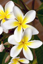 Plumeria with Raindrops Royalty Free Stock Images