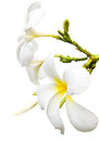 Plumeria Spa Flower isolated Royalty Free Stock Photo