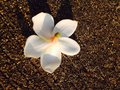 Plumeria in sunshine on the ground Royalty Free Stock Image