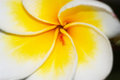 Plumeria tree luntom black isolate Stock Images