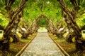 Plumeria tree tunnel Royalty Free Stock Photo