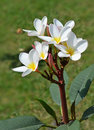 Plumeria1 Stock Photo