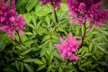 plumes of pink astilbe Royalty Free Stock Photo