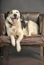 Plump dog on an old chair Stock Photography