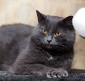 Plump gray british cat with yellow eyes Stock Images