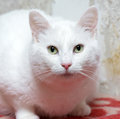 Plump white cat with green eyes Stock Photography