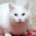 Plump white cat Royalty Free Stock Photo