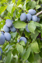 Plums growing on branch close up Stock Image