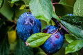 Plums photo of two taken during rain Royalty Free Stock Photography